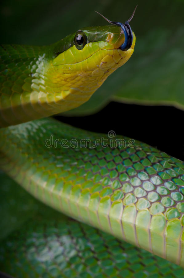 Tongue flicking green ratsnake. The red-tailed green ratsnake, Gonyosoma oxycephalum, is an arboreal non venomous snake species from South east Asia. When the stock photos