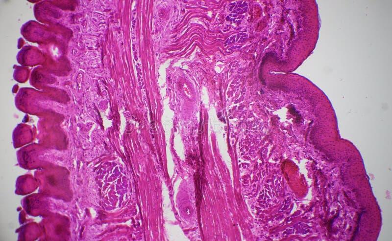 Tongue Longitudinal Section Under The Microscope Stock Image Image