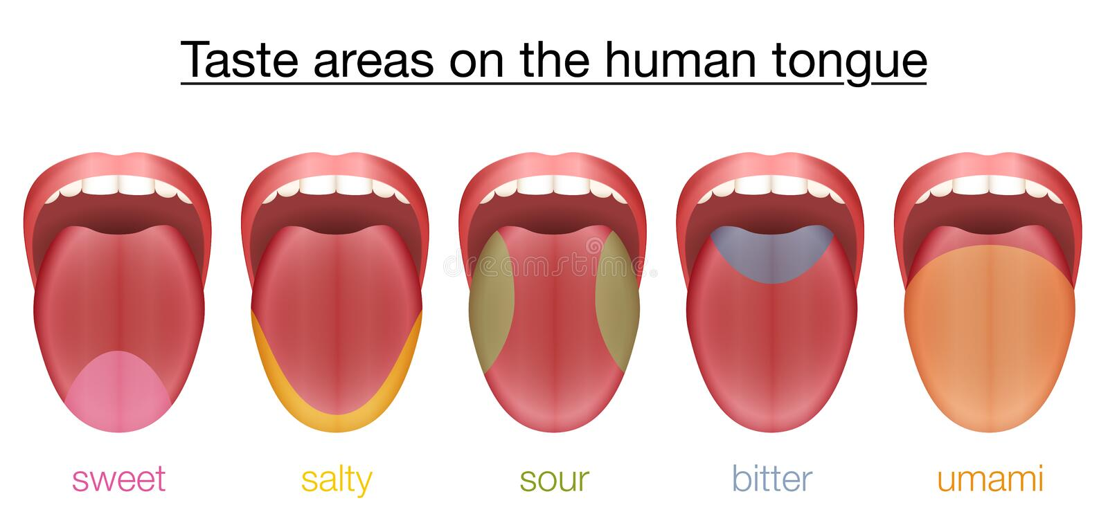 Tongue Sweet Salty Sour Bitter Umami Taste. Taste areas of the human tongue - sweet, salty, sour, bitter and umami - with colored regions of the appropriate vector illustration