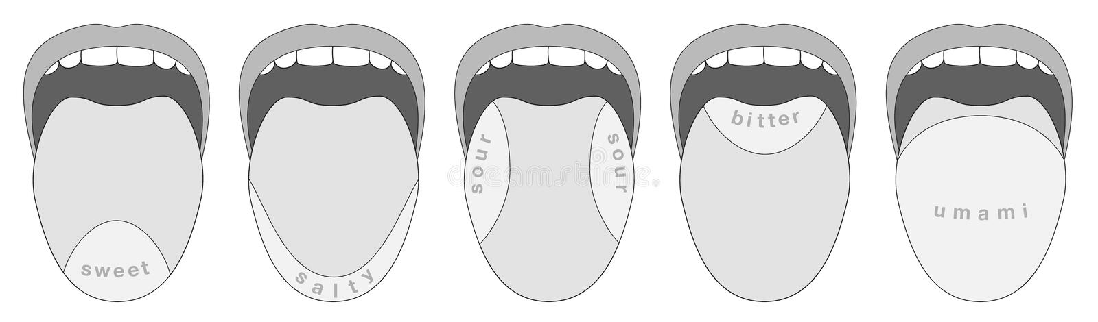 Tongue Taste Buds Five Taste Areas Stock Vector Illustration Of