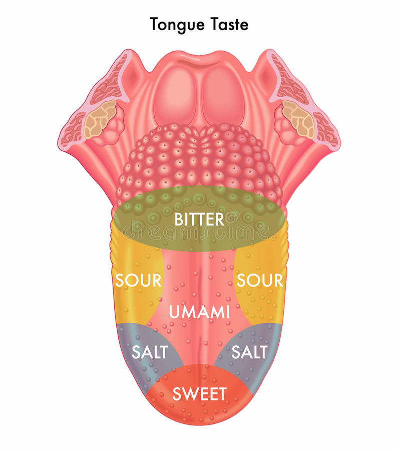 Tongue taste. Medical illustration of schematic map of the tongue taste stock illustration