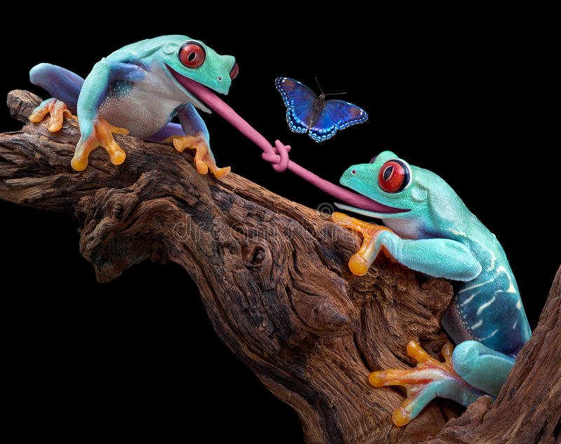 Tongue-tied. Two red-eyed tree frogs were trying to eat the same butterfly and became tongue-tied