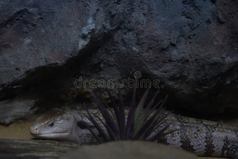 Tongued skink kryjówka za małą trawą na piasek podłoga i cli obrazy stock