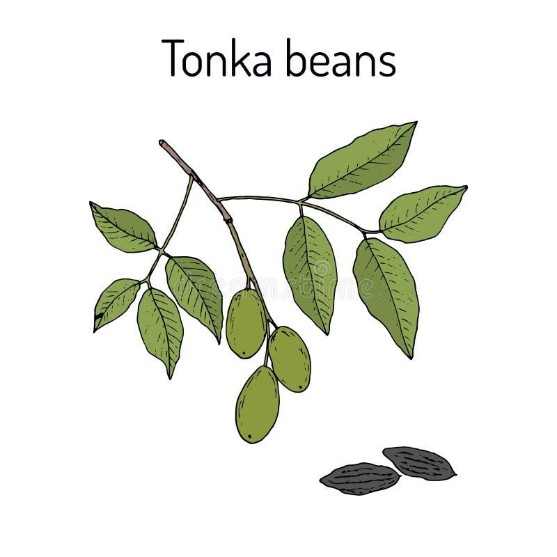Tonka-Bohnen Dipteryxodorata, aromatisch und Heilpflanze lizenzfreie abbildung