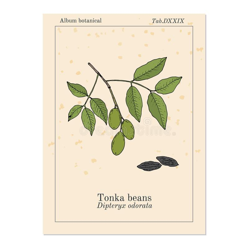 Tonka-Bohnen Dipteryxodorata, aromatisch und Heilpflanze vektor abbildung