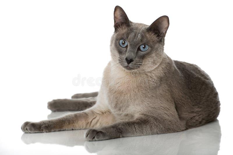tonkinese katt arkivbilder