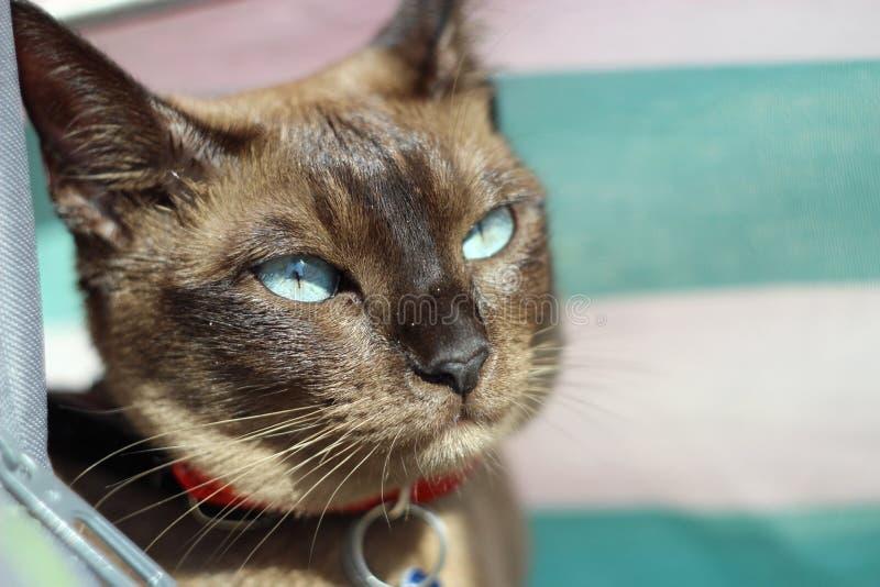 Tonkinese katt på stranden royaltyfri foto