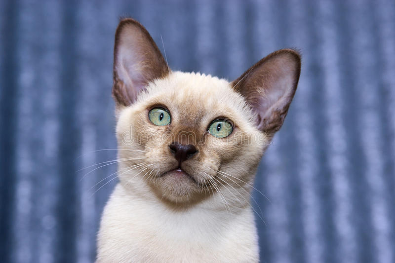 tonkinese kattunge royaltyfri fotografi