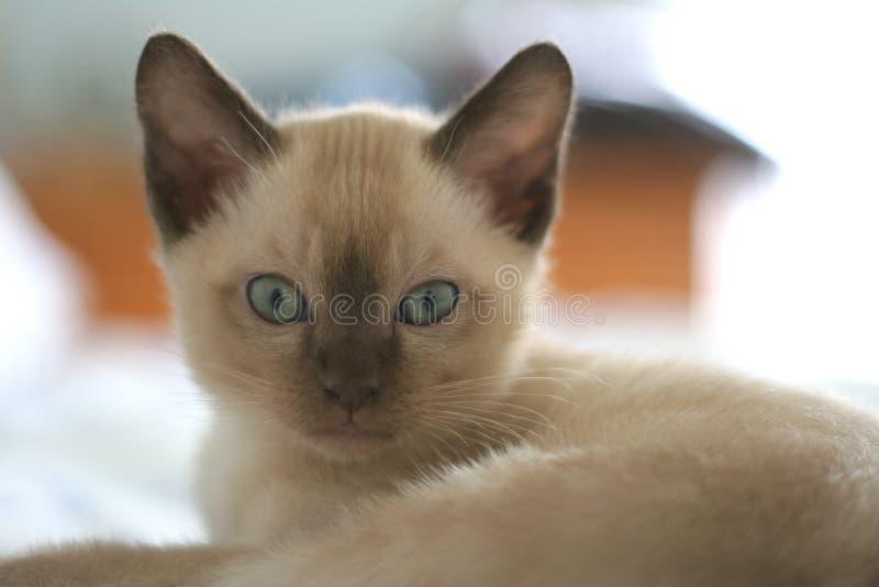 tonkinese kattunge arkivfoto