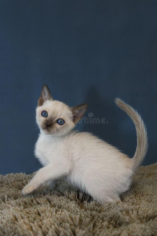 Tonkinese kattunge på lek royaltyfri foto
