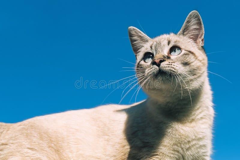 Tonkinese-Katze gegen klaren blauen Himmel lizenzfreies stockbild