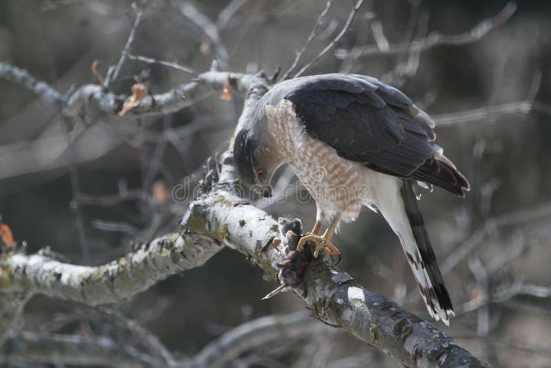 Tonneliers Hawk Eating Shrew photo libre de droits