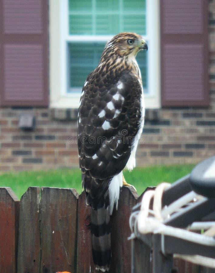Tonneliers Hawk Rests sur la barrière d'arrière-cour image libre de droits