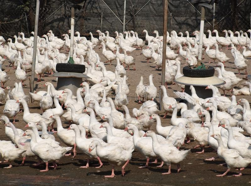 Tonnes de canards image stock