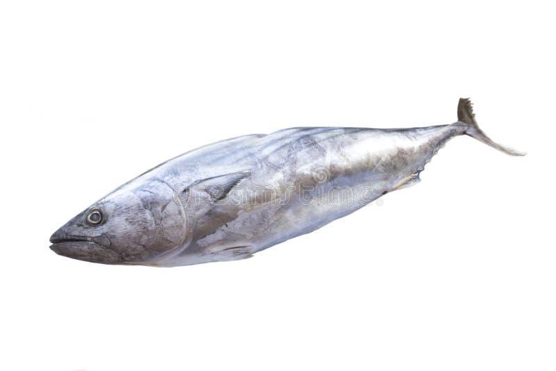 Tonno del pesce Pesci CONGELATI fotografie stock