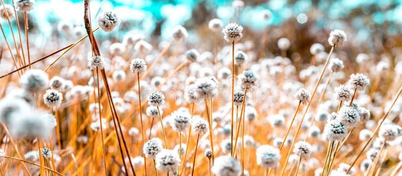 Tono azul y anaranjado de imagen del blanco del campo de flores salvajes macro fotografía de archivo