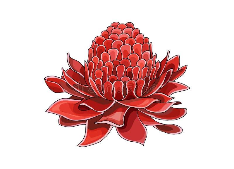 Tono medio de la historieta con la flor de Etlingera Elatior La mano del vector ahoga bosquejo coloreado foto de archivo