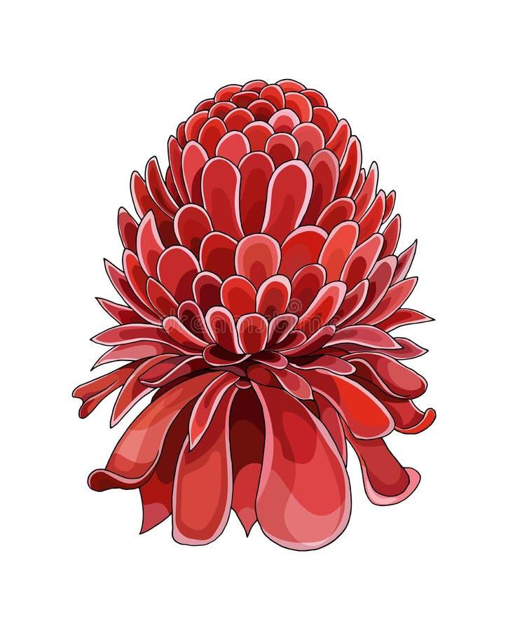 Tono medio de la historieta con la flor de Etlingera Elatior La mano del vector ahoga bosquejo coloreado fotos de archivo