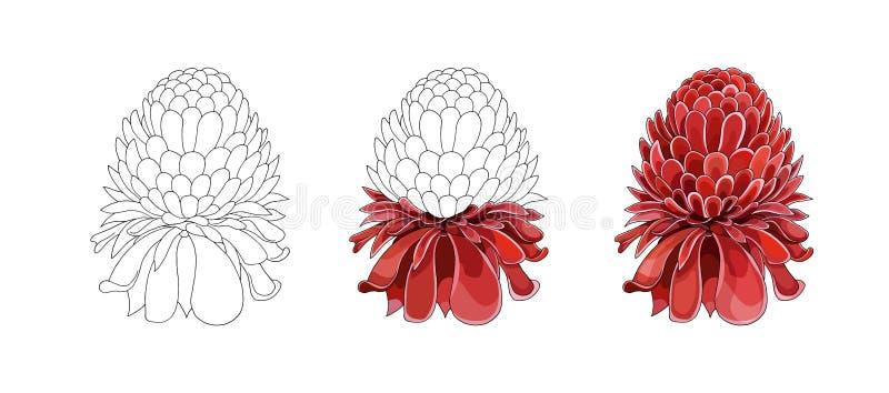 Tono medio de la historieta con la flor de Etlingera Elatior La mano del vector ahoga bosquejo coloreado imágenes de archivo libres de regalías
