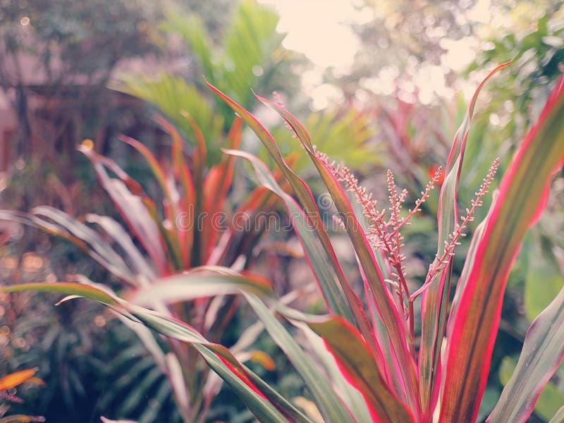 Tono morbido dolce della pianta del Ti, buona fortuna hawaiana, Cordyline immagini stock libere da diritti
