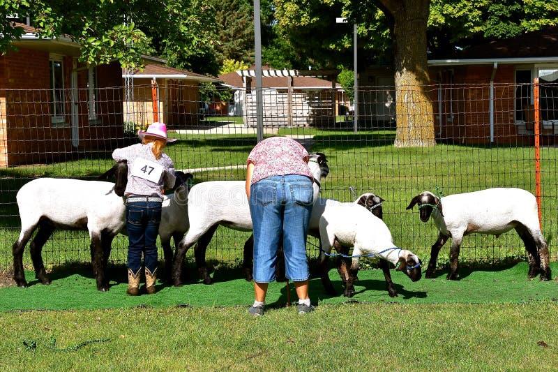 Tonte d'un mouton pour un concours de jugement images libres de droits