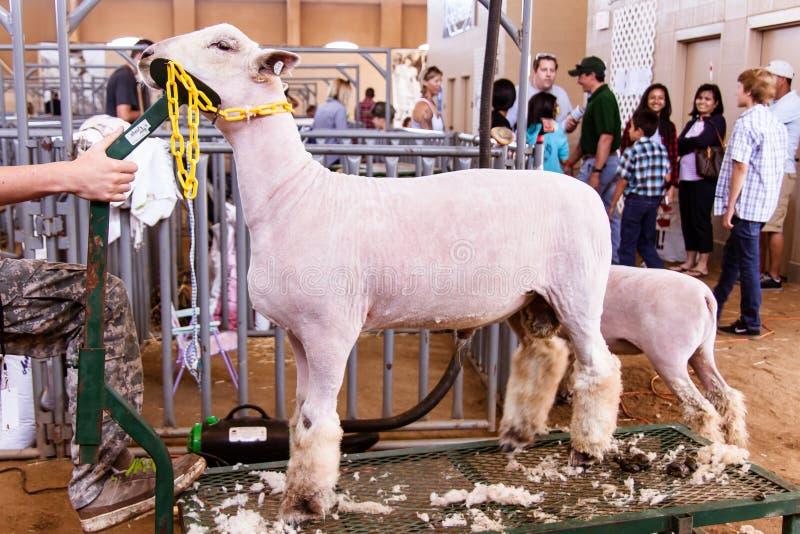 Tonte des moutons image stock