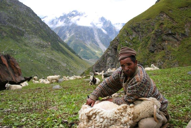 Tonte des moutons dans Kinnaur photographie stock libre de droits