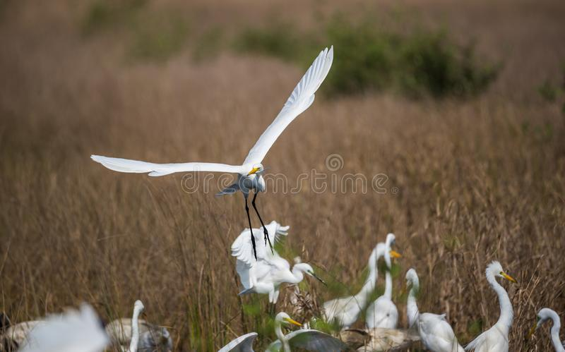 Took from the flock. Intermediate Egret bird taken off from the flock stock images