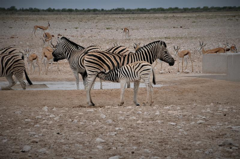 South Africa Port Elizabeth Baby Zebra drinking by his mother stock image