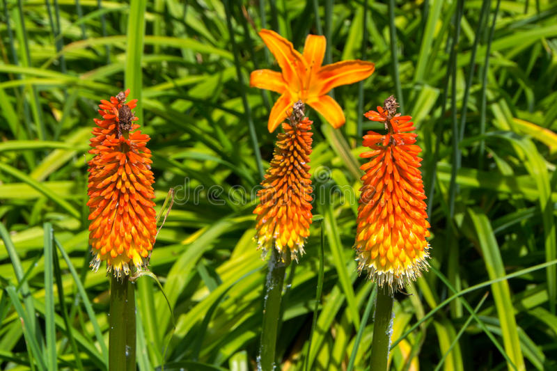 Toorts Lily Flower stock afbeelding