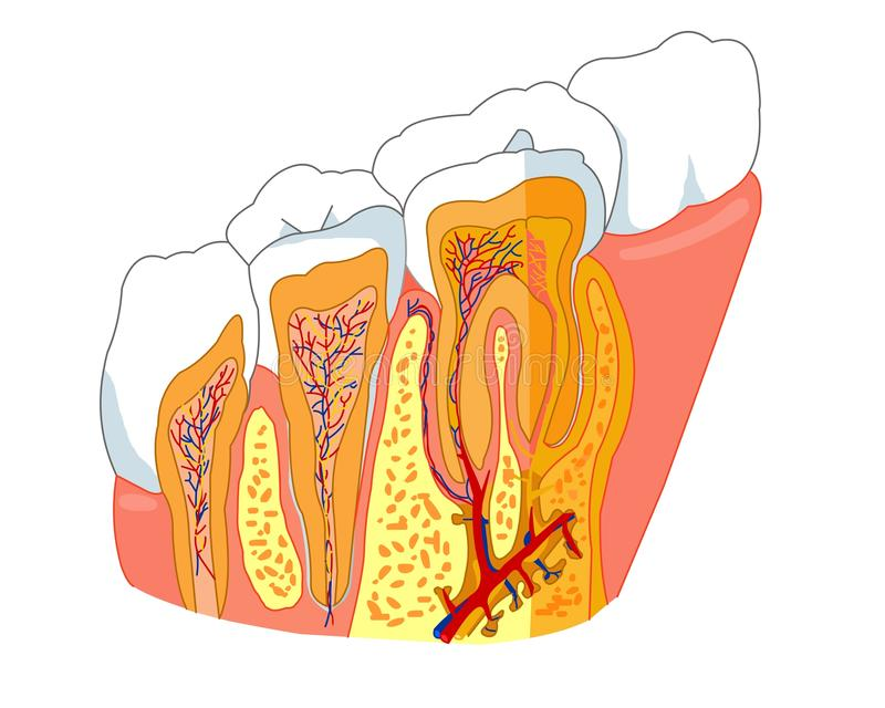 Tooth anatomy. Medical illstration for healthcare royalty free illustration