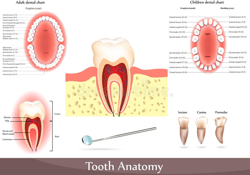 Tooth anatomy royalty free illustration