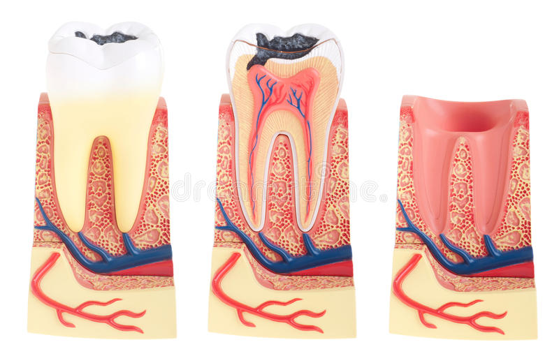 Tooth anatomy. Collection (vital tooth, structure, bone, ligament and socket) isolated on white background stock illustration