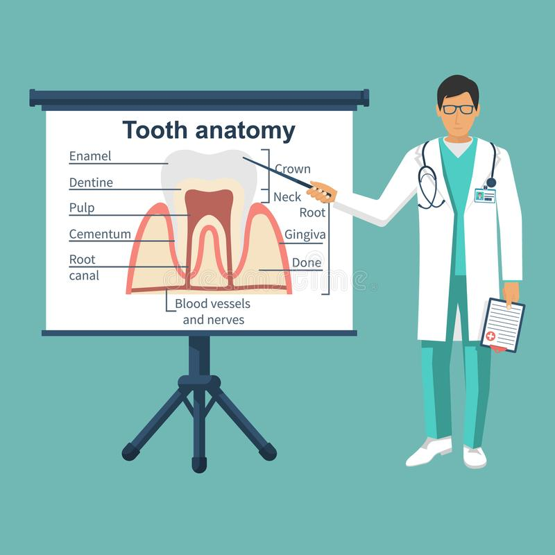 Tooth anatomy on board. Doctor dentist pointing tooth structure. Healthcare stomatology. Vector illustration flat design. Isolated on background. Medical vector illustration