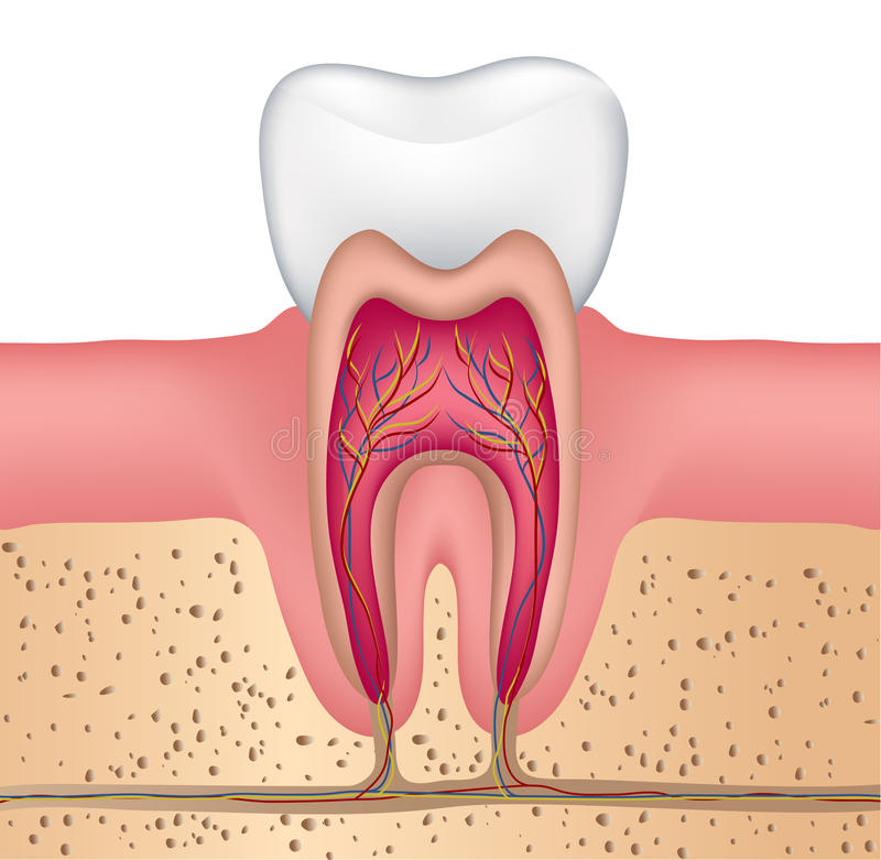 Tooth anatomy. Healthy white tooth illustration, detailed anatomy vector illustration