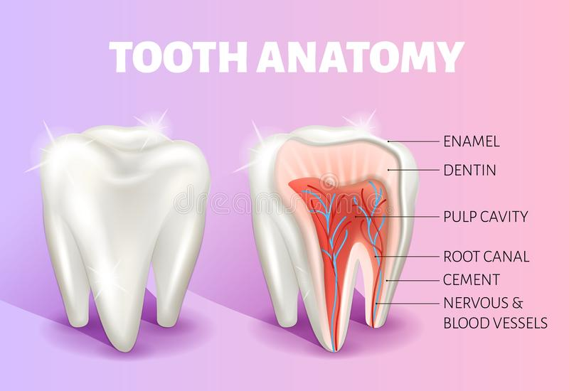 Tooth anatomy infographics. Realistic 3D vector medical banner or poster. Tooth anatomy infographics. Realistic 3D Vector medical banner. Dental poster. The stock illustration