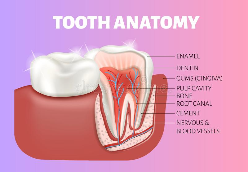 Tooth anatomy medical banner. Healthy tooth cut. Tooth anatomy medical banner. 3D Vector infographics. Dental poster. The diagram of a healthy tooth cut royalty free illustration