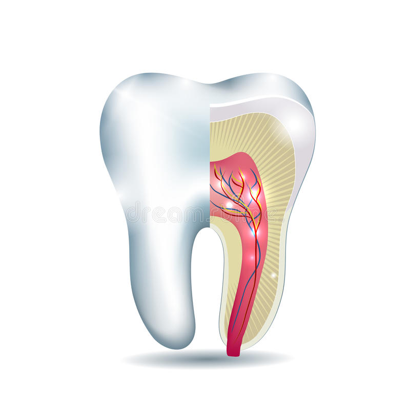 Tooth anatomy. Part of the tooth is cross section, detailed anatomy stock illustration