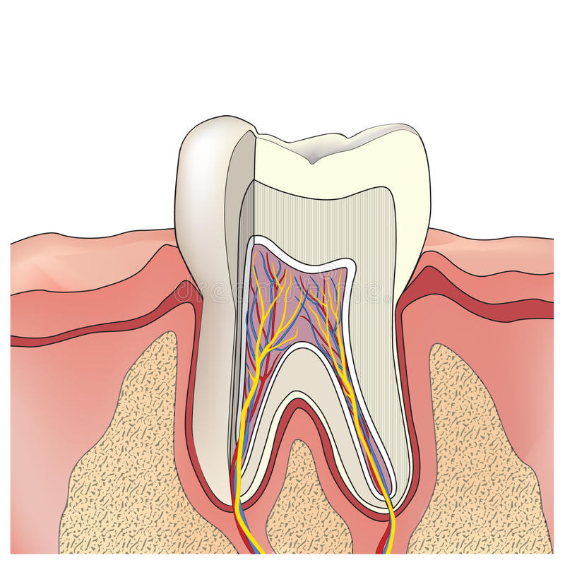 Tooth anatomy. Vector illustration. Tooth structure. Anatomy of teeth. Vector illustration stock illustration