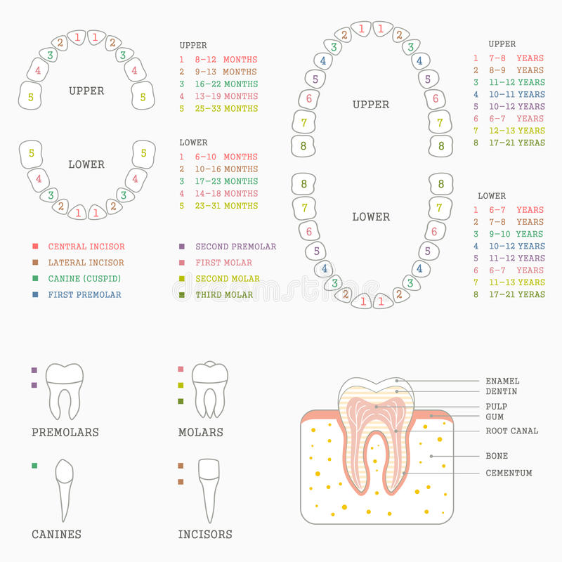 Tooth chart, human teeth. Vector dental illustration, tooth chart, human teeth royalty free illustration