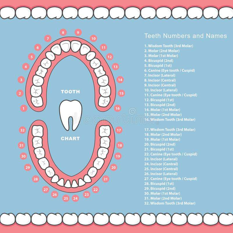 Tooth chart with names - dental infographics, teeth in jaw royalty free illustration