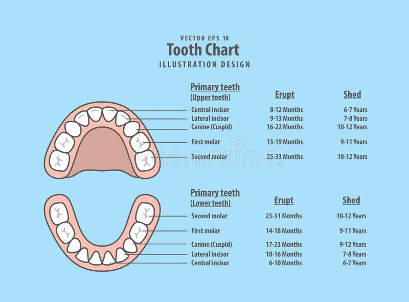 Tooth Chart Primary teeth with erupt & shed illustration vector stock illustration