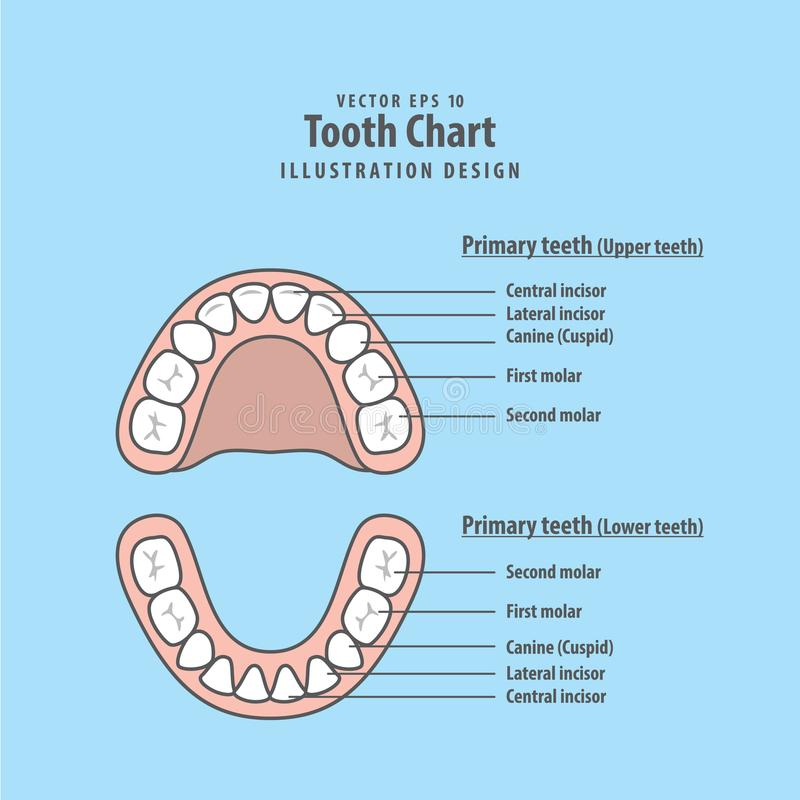 Tooth Chart Primary teeth illustration vector on blue background royalty free illustration