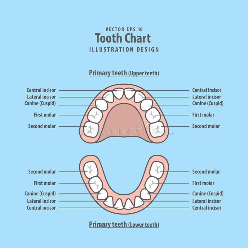 Tooth Chart Primary teeth illustration vector on blue background stock illustration