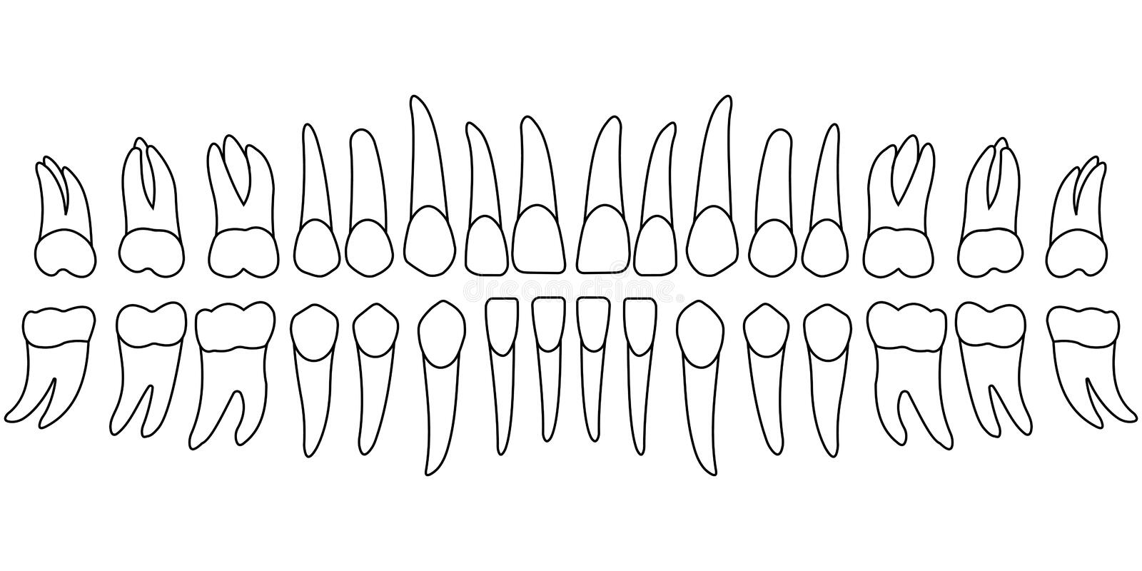 Tooth chart teeth. Teeth chart tooth, the front side of a person`s teeth , chart for dental clinic, vector template dentist vector illustration