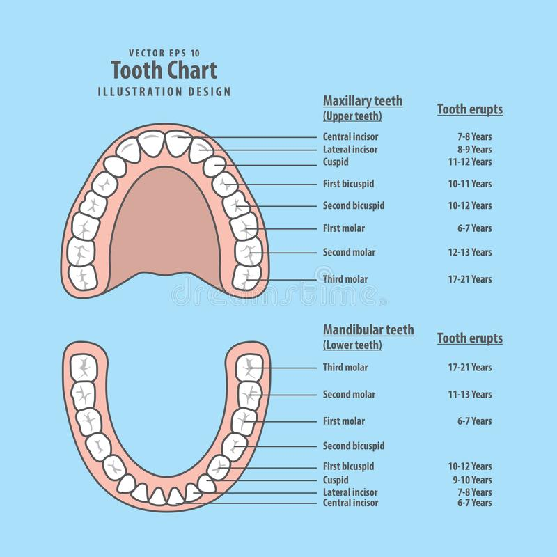 Tooth chart with tooth erupts illustration vector on blue stock illustration