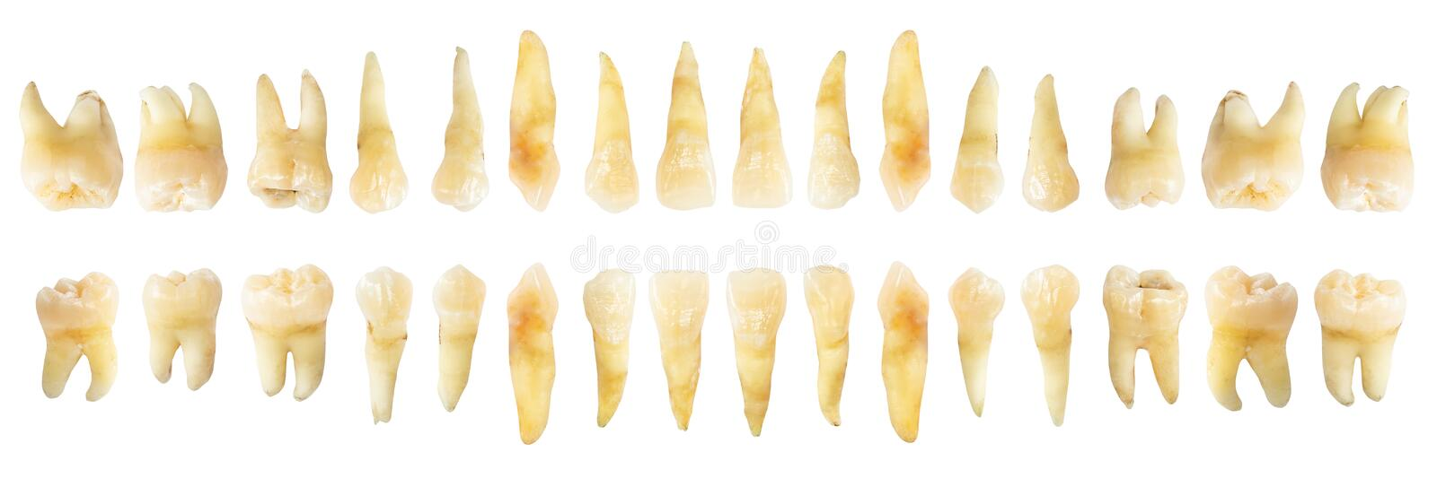 Tooth diagram photography . Real teeth chart . front horizontal view . isolated white background royalty free stock images