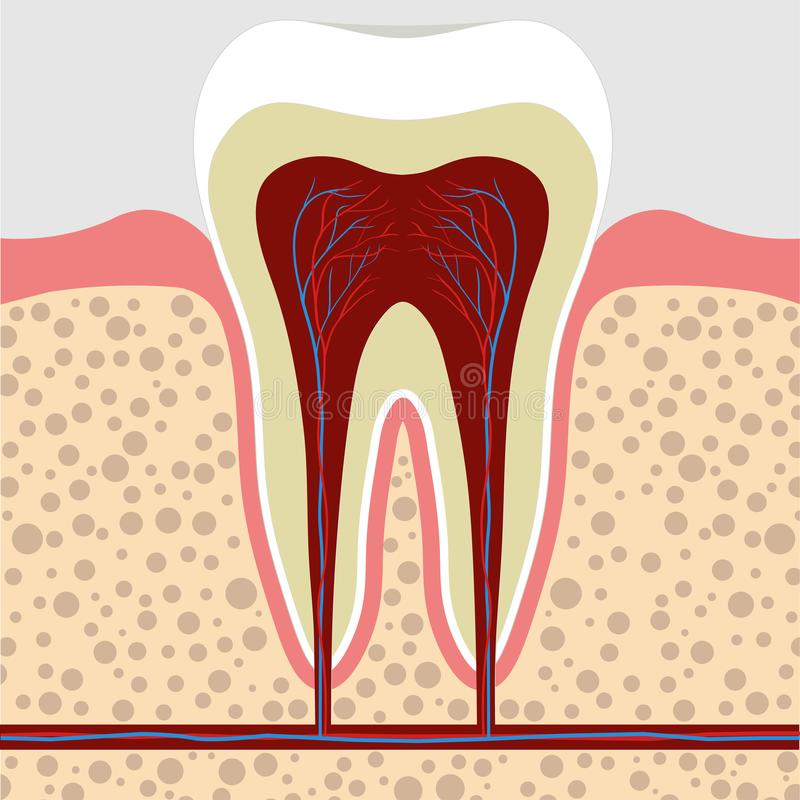 Tooth, gum in a cross section. Tooth Root cana royalty free illustration