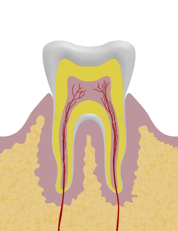Tooth Illustration royalty free illustration