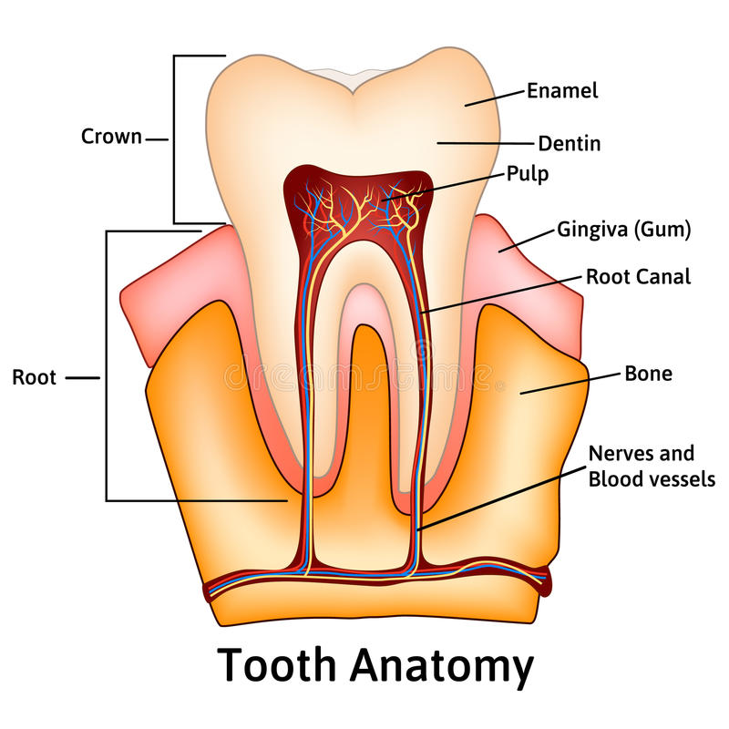 Tooth Medical Anatomy With Words Stock Vector Illustration Of Bone